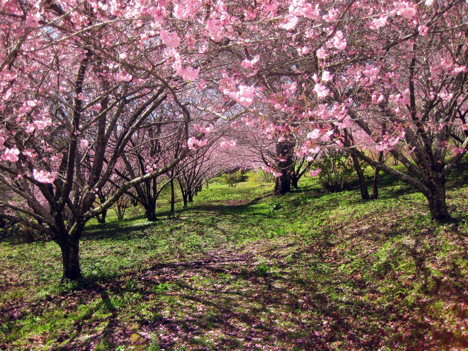 Download 91 Wallpaper Bergerak Bunga Sakura Foto HD Gratid